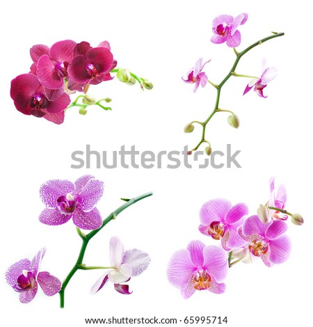 Orchid Phalaenopsis isolated on white