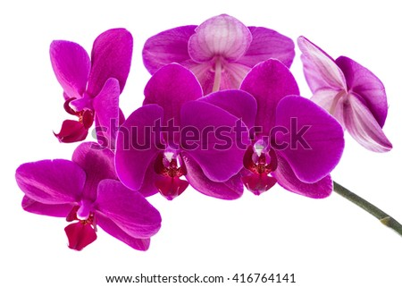 orchid phalaenopsis violet blossoms isolated on a white background - stock photo