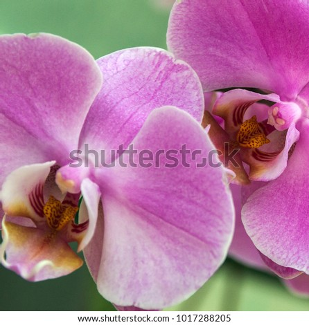 Orchid pink purple flower in tropical garden. Orchid flower Phalaenopsis, tropical orchids flowers stem - spring day for postcard.
