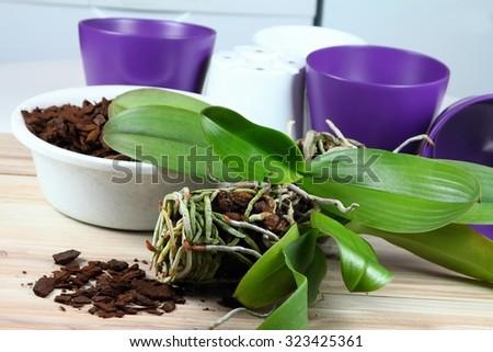 Orchid replanting,  lat. Phalaenopsis Cascade - stock photo