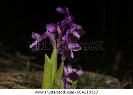 HOA GIEO TỨ TUYỆT - Page 64 Stock-photo-orchid-s-flowers-nacamptis-morio-subsp-longicornu-anacamptis-longicornu-604118369