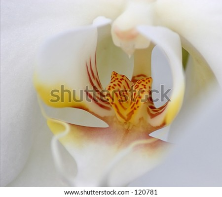 Orchid, Study - stock photo