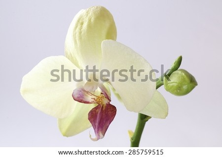 orchid, white, isolated, background, orchids, beautiful, beauty, flower, nature, flora,, stem blossom, spa, fresh, plant, bouquet, red, tropical, floral, macro, petal, bloom, closeup, branch,  - stock photo