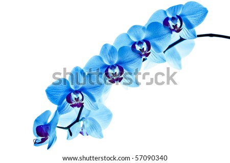 orchid, with blue color - stock photo