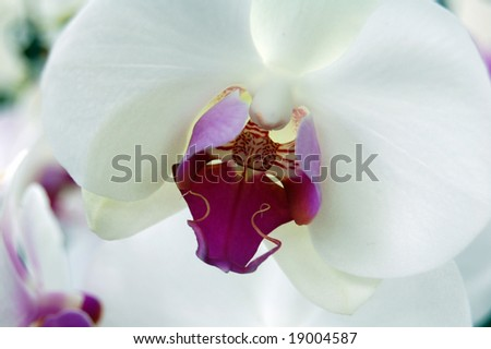 Orchidaceae is the largest family of the flowering plants (Angiospermae). Close up of the purple labellum of a white orchid. Beautiful background. - stock photo
