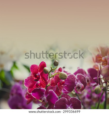 Orchidaceae Phalaenopsis. Orchids. Beautiful pink, red, violet orchid flowers closeup. Toned photo, pastel colors effect. copy space. soft focus! - stock photo