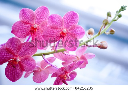 Orchids in Pink - stock photo