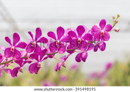 orchids purple Is considered the queen of flowers in Thailand.