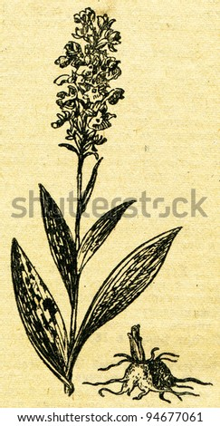"""Orchis - an illustration from the book """"In the wake of Robinson Crusoe"""", Moscow, USSR, 1946. Artist Petr Pastukhov - stock photo"""
