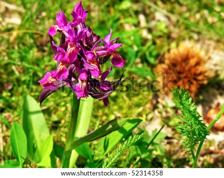 Orchis morio, orchidacee. Shallow dof. - stock photo