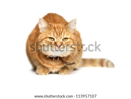 Ordinary domestic ginger cat sitting on white background