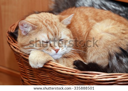 Ordinary domestic ginger cat slipping in wicker basket