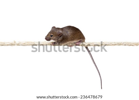 Ordinary gray mouse (Mus musculus) on the rope. Isolated on white background - stock photo