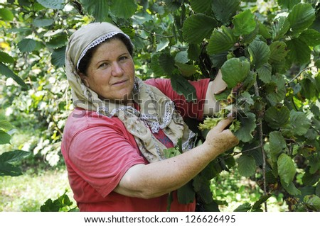 ORDU, TURKEY - AUGUST 06: Hazelnuts are harvested in August and picked off from the trees on August 06, 2010 in Ordu, Turkey. Vicdan Sengul (55) picks hazelnuts.