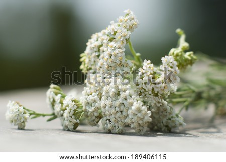 oregano and yarrow herbal flowers  - stock photo