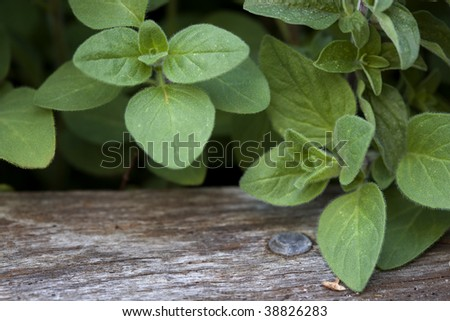 Oregano growing in a herb garden, with rough timber border.