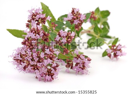 oregano, herbs with flower