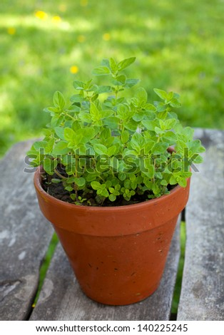 oregano in clay pot on wooden table - stock photo