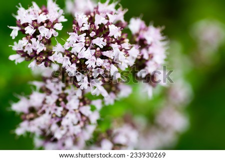 Oregano, marjoram, Origonum vulgare, Lamiaceae, southern Europe   - stock photo