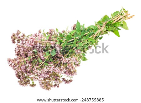 Oregano or Marjoram Herb Blooming (origanum majorana ) - stock photo