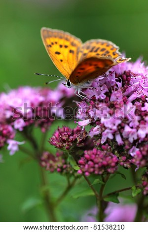 Oregano (Origanum vulgare ) with red butterfly Scarce Copper , Lycaena virgaureae - male - stock photo