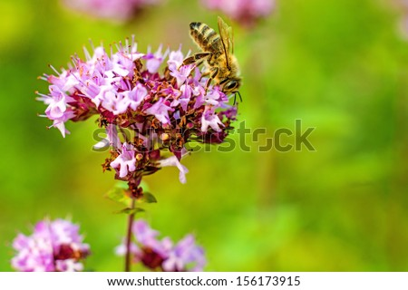 oregano, wild marjoram - stock photo
