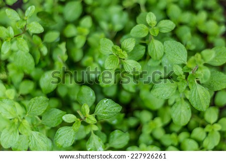 Oregano with water droplets. Cuisine herbs. - stock photo