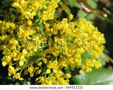 Oregon grape (Mahonia aquifolium) flowers in the spring garden - stock photo