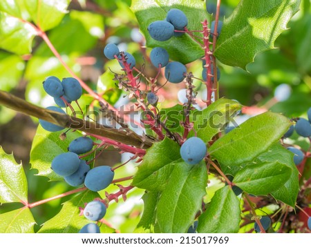 Oregon grape (Mahonia aquifolium) is a species of flowering plant in the family Berberidaceae, native to western North America - stock photo