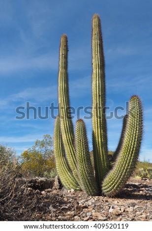 Organ Pipe Cactus Growing in Organ Pipe Cactus National Park, Arizona - stock photo