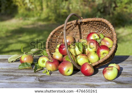 Organic apples in a basket and spilled on the old table