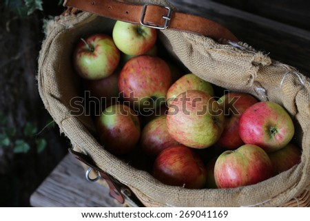 organic apples in a gunnysack after the harvest - stock photo