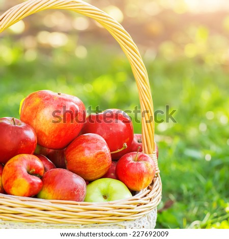 green and red apples in basket. organic apples in basket summer grass. fresh nature green and red