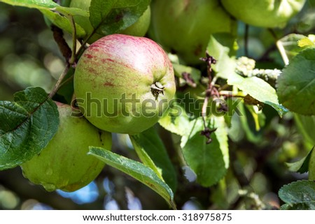 organic apples, red and green, hanging on the tree in the orchard, harvest time for fruits - stock photo