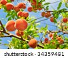 Organic Babcock Peaches - stock photo