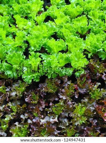 organic baby green lettuce - stock photo