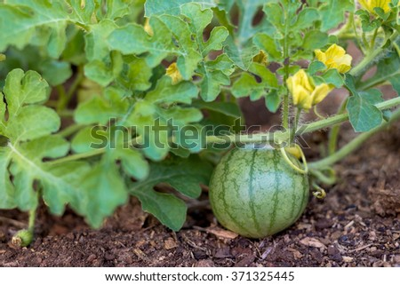 Organic baby watermelon growing in home garden bed - stock photo