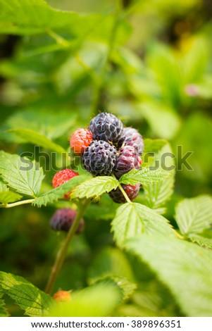 Organic black raspberry bunch of berries ripening on sunney day - stock photo