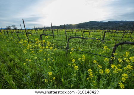 Organic California wine grape vineyard with cover crop of yellow mustard between the rows, providing nutrients to the soil.   - stock photo