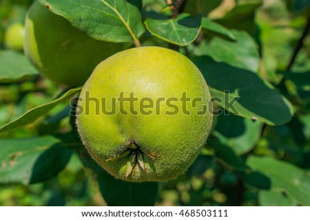 Organic close up of quince tree with fresh quinces