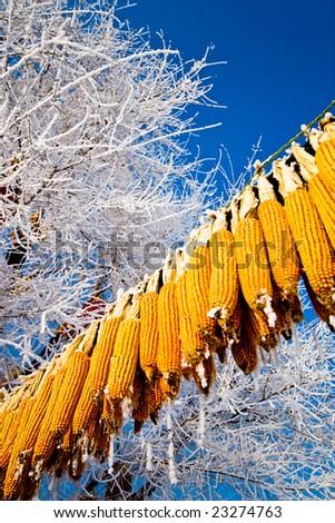 organic corn animal feed stored for winter under blue sky - stock photo