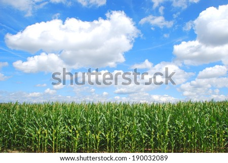 Organic corn farming - stock photo