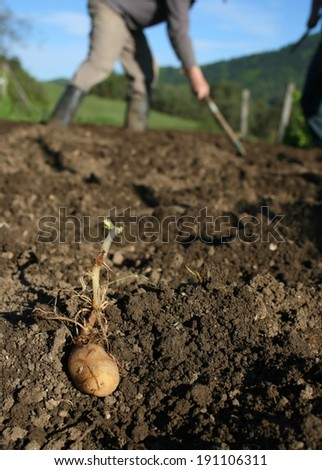 Organic ecological farming, planting last year's selected crop by hand, sprouting potato, farmers in background - stock photo
