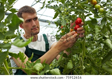 Organic farmer checking his tomatoes in a greenhouse - stock photo