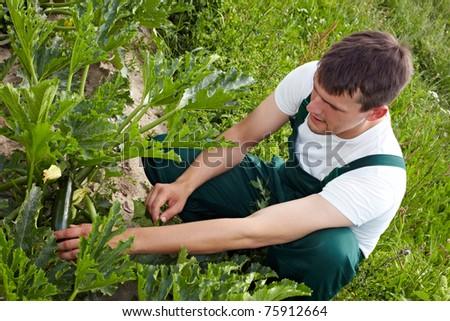 Organic farmer checking ripeness of zucchini in a field - stock photo