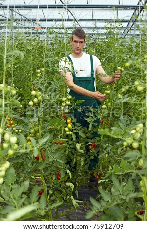 Organic farmer in greenhouse surrounded by tomato plants - stock photo