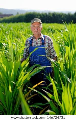 Organic Farmer looking at sweetcorn in a field. Model is real farm worker - stock photo