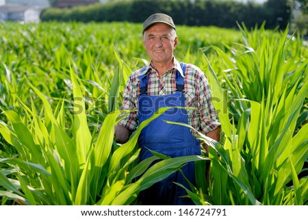 Organic Farmer looking at sweetcorn in a field. Model is real farm worker - stock photo