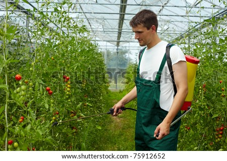 Organic farmer manuring tomato plants with backpack sprayer - stock photo