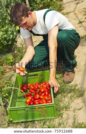 Organic farmer selecting bad tomatoes before the harvest - stock photo